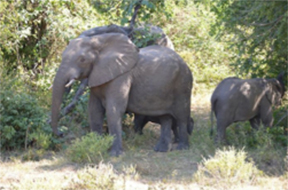 Family of Elephants, Majete Game Reserve